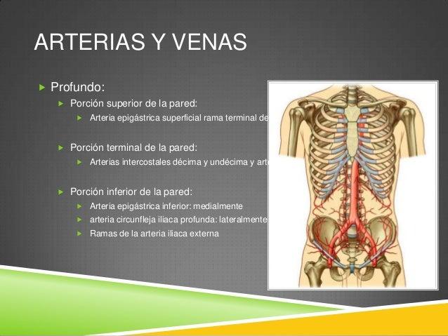 ARTERIAS Y VENAS  Las arterias epigástricas superior e inferior atraviesan la vaina de los rectos  Se anastomosan entre ...
