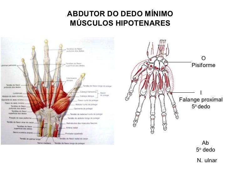 Hermosa Anatomía Dedo Friso - Anatomía de Las Imágenesdel Cuerpo ...