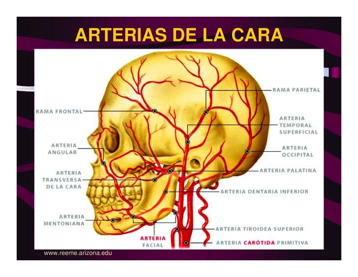 Anatomia Cabeza
