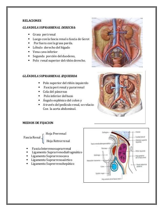 Anatomia de-las-glándulas-suprarrenales