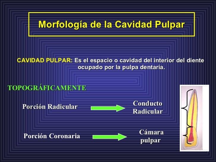 Morfología de la Cavidad Pulpar TOPOGRÁFICAMENTE Cámara pulpar Conducto Radicular CAVIDAD PULPAR:   Es el espacio o cavida...