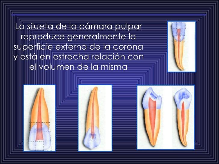 La silueta de la cámara pulpar reproduce generalmente la superficie externa de la corona y está en estrecha relación con e...