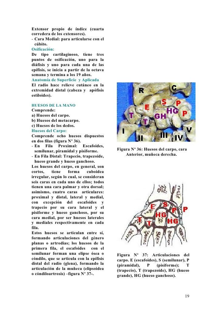 Anatomia en-el-anfiteatro-capitulo-1-miembro-superior