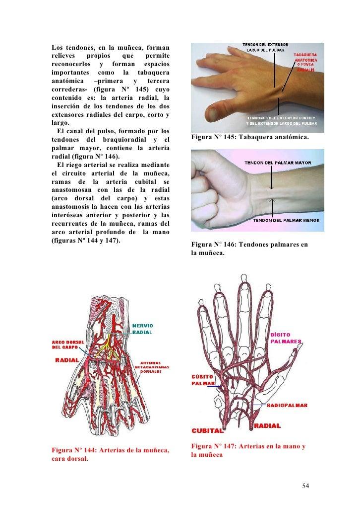 Perfecto Anatomía De Superficie Muñeca Bosquejo - Anatomía de Las ...