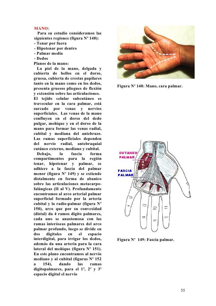 Magnífico Anatomía De La Mano Palmar Patrón - Imágenes de Anatomía ...