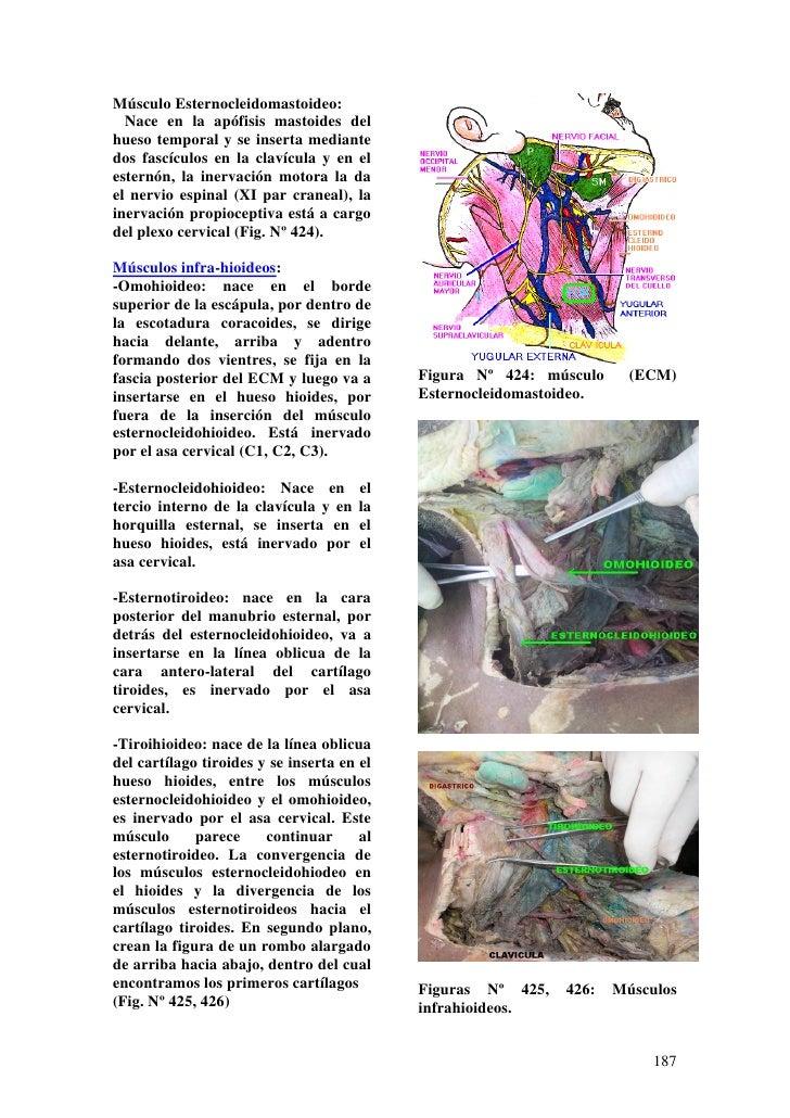 Anatomia en-el-anfiteatro-cuello-y-region-dorsal