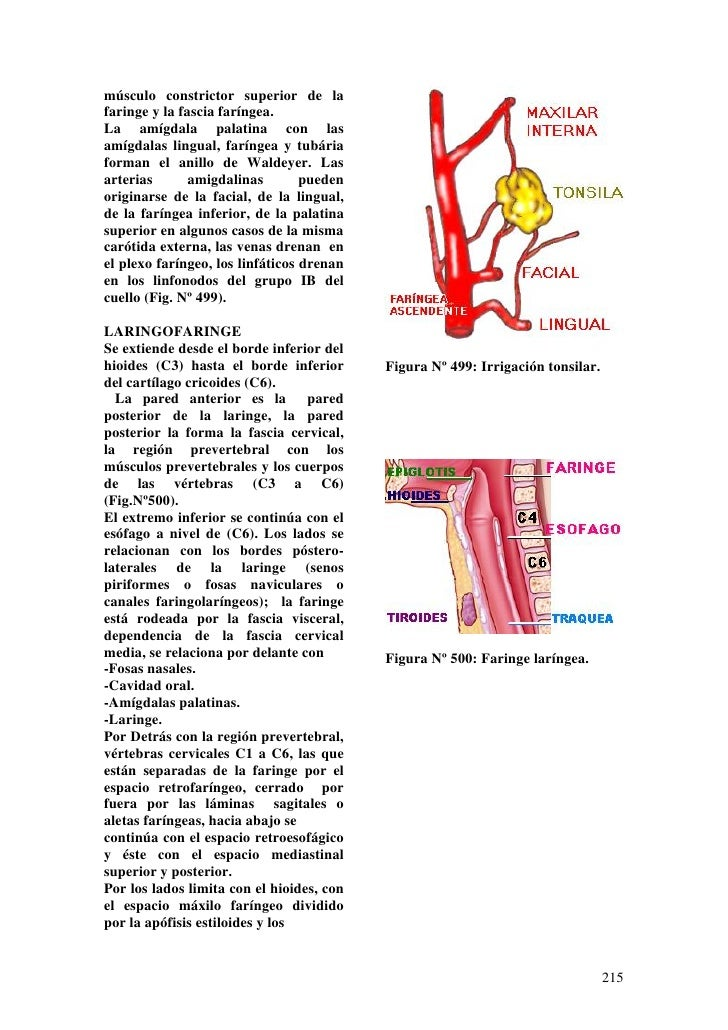 Lujo La Anatomía Y La Fisiología De Las Amígdalas Ornamento ...