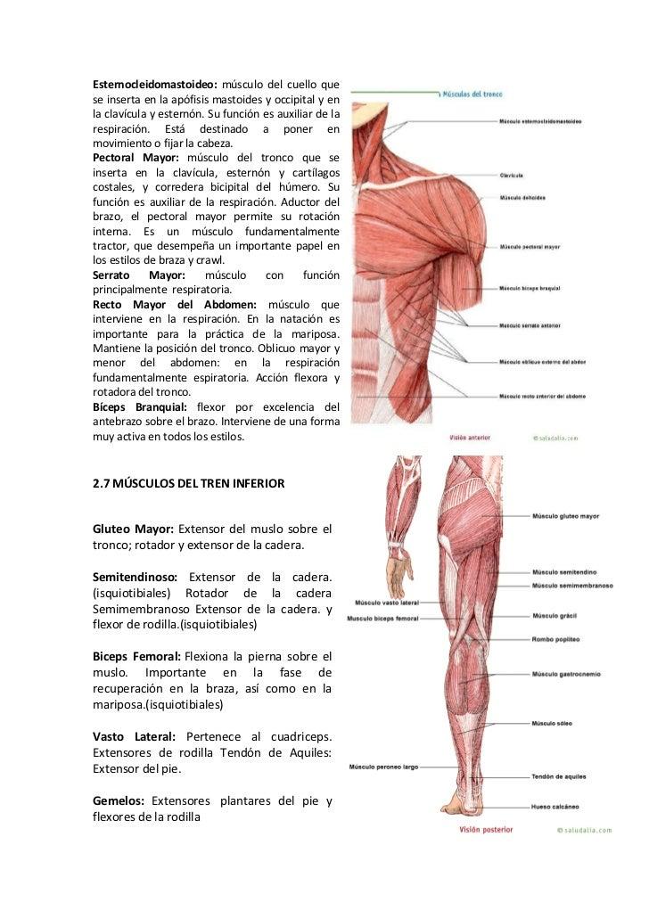 Fantástico Anatomía Macroscópica De La Hoja De Revisión Sistema ...