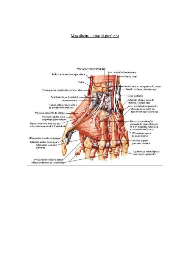 Atractivo Anatomía Del Dedo Cresta - Imágenes de Anatomía Humana ...