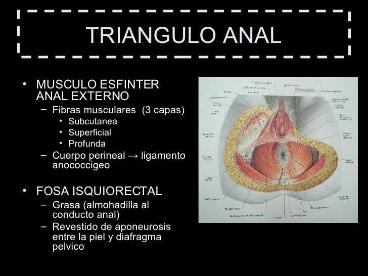 Atractivo Anatomía Fosa Isquiorectal Embellecimiento - Anatomía de ...