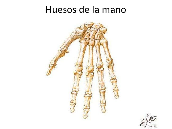Anatomia huesos del miembro superior