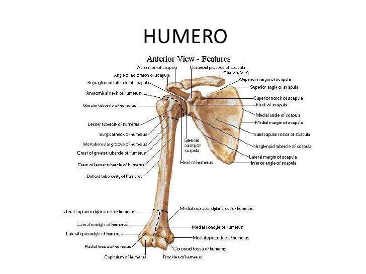 Fantástico Anatomía Del Hueso De La Extremidad Superior Foto ...