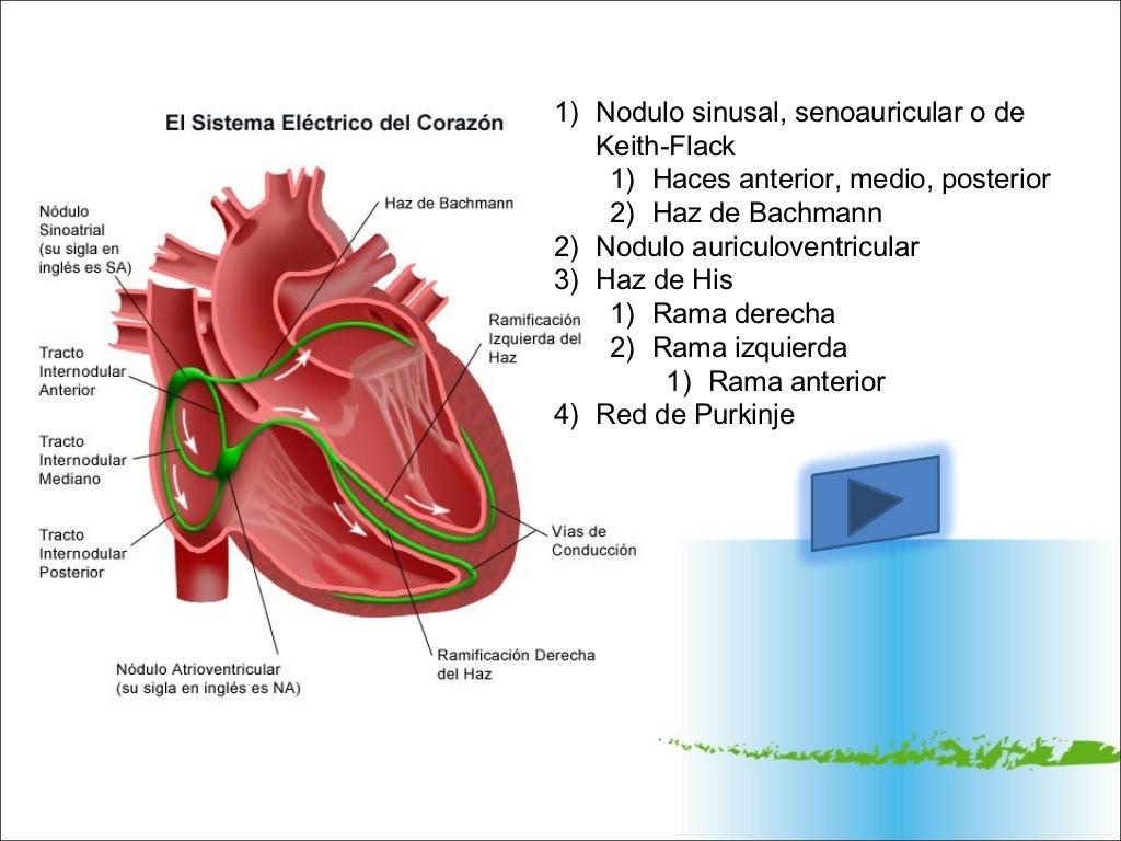 Anatomía y sistema de conduccion