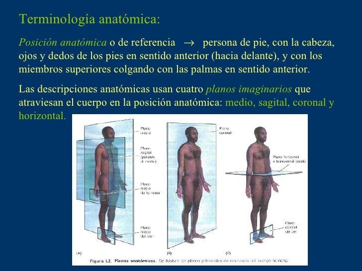 Vistoso Definir La Anatomía Histológico Colección - Anatomía de Las ...
