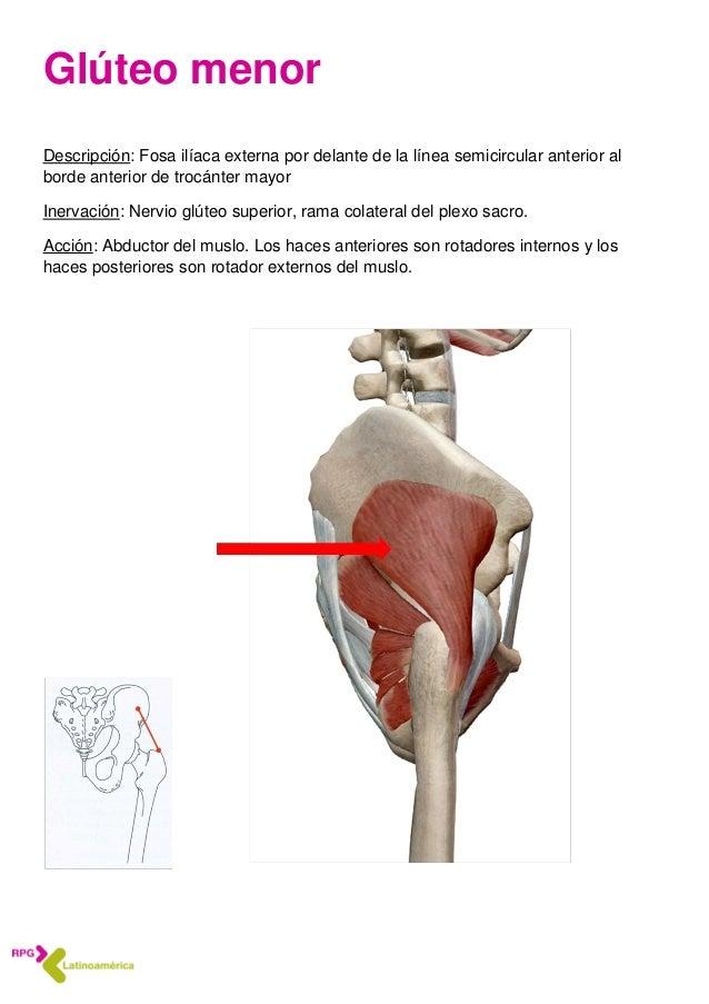 Anatomía 4 Músculos abdominales y de la pelvis