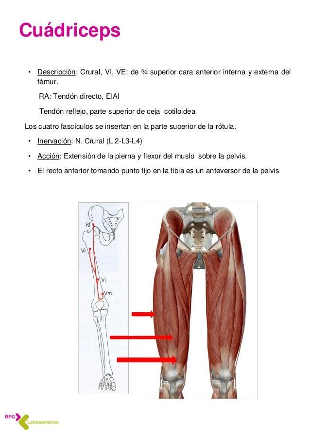 Anatomía 5 Músculos del muslo