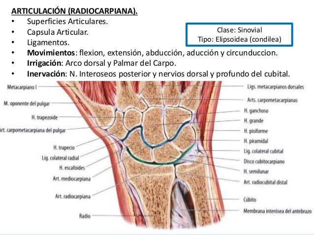 Anatomia de antebrazo y mano