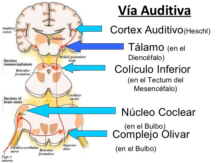 Anatomia aparato auditivo 2011