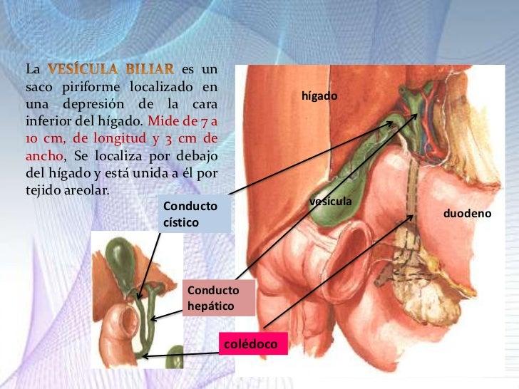 Lujo Hígado Anatomía Y La Vesícula Biliar Motivo - Anatomía de Las ...