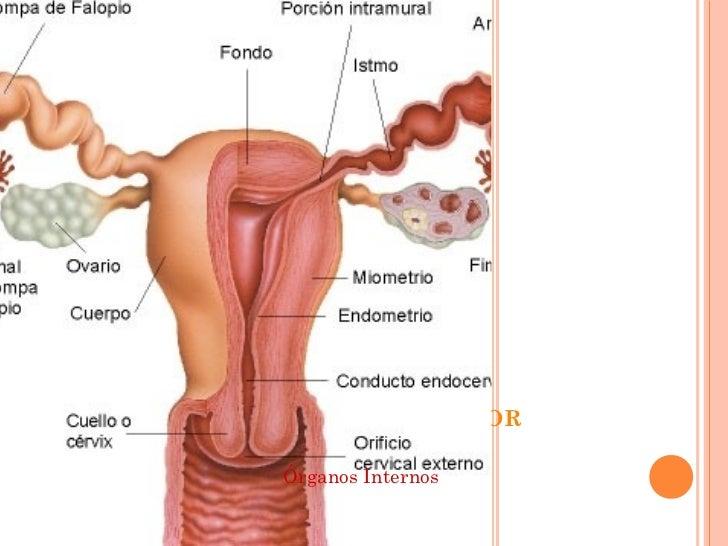 Lujo Anatomía De Imágenes Del Sistema Reproductor Femenino Imágenes ...