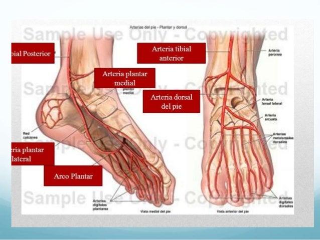 Anatomia arcos palmares
