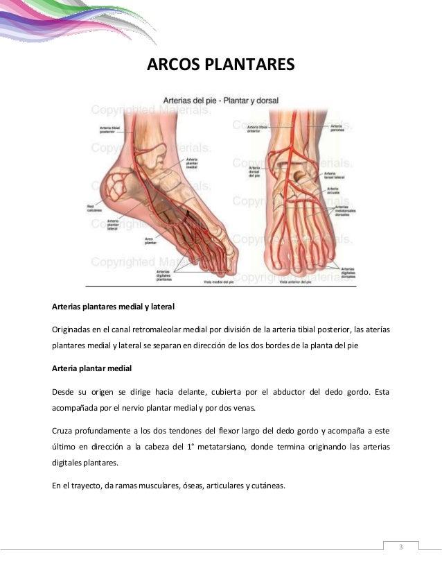 Anatomia arcos plantares y palmares