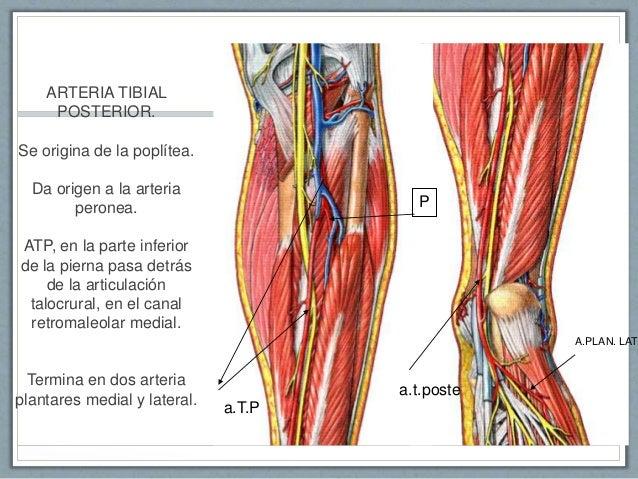 Anatomia arterias de abdomen y miembros inferiores