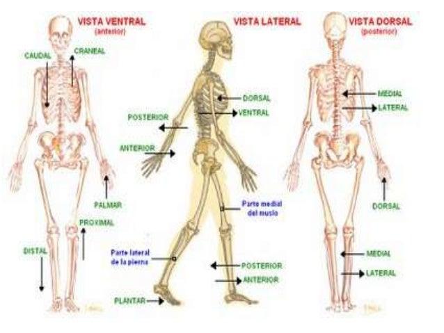 Anatomia basica