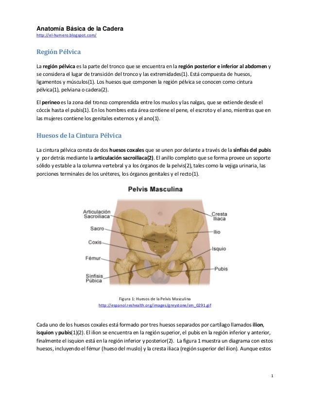 Anatomia basica cadera