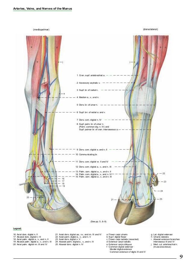 Anatomia bovinos