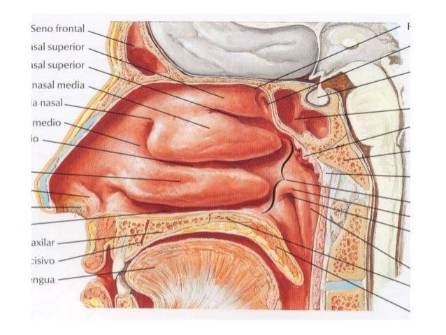 Anatomia cabeza y cuello (Cavidades)