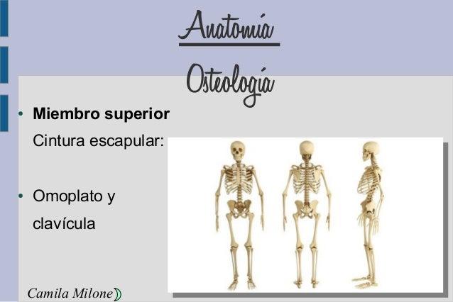 Anatomía Osteología ● Miembro superior Cintura escapular: ● Omoplato y clavícula Camila Milone