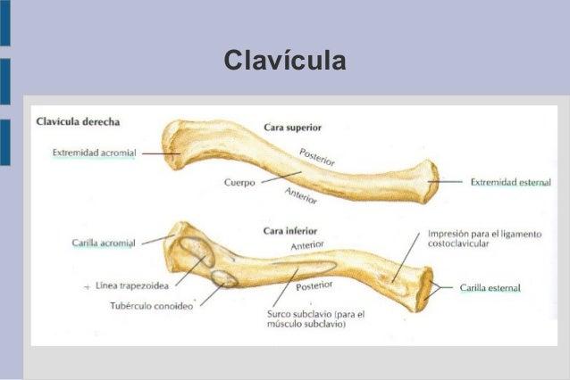 Clavícula ● Extremos Externo o acromial Carilla articular con el acromion del omoplato. Interno o esternal Carilla articul...