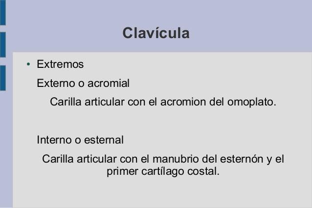 Anatomia Omoplato Y Clavicula