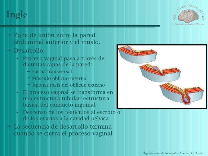Anatomia canal inguinal