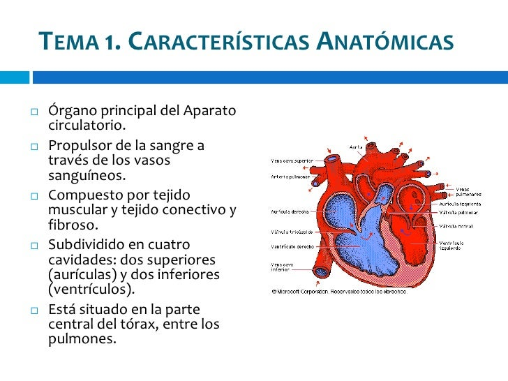 Anatomia cardiaca Slide 3
