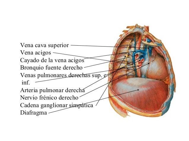 Famoso La Vena Cava Superior Anatomía Bandera - Anatomía y ...