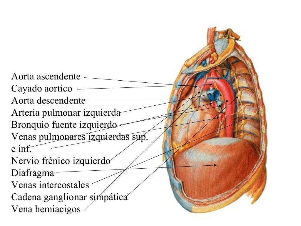 Fantástico Anatomía De La Arteria Pulmonar Izquierda Regalo ...