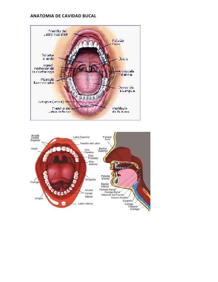 Anatomia cavidad bucal