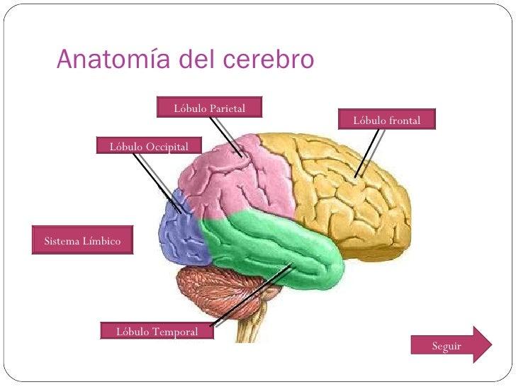 Anatomia cerebro y sistema visual
