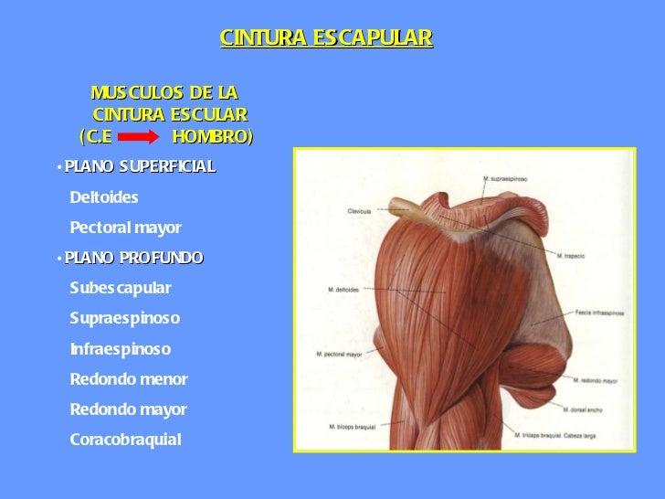 Anatomia cintura escapular ii