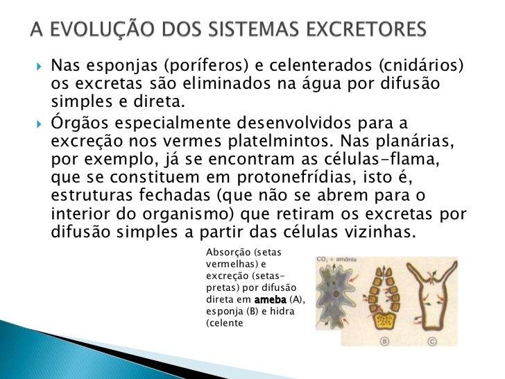 Nas esponjas (poríferos) e celenterados (cnidários) os excretas são eliminados na água por difusão simples e direta.<br />...
