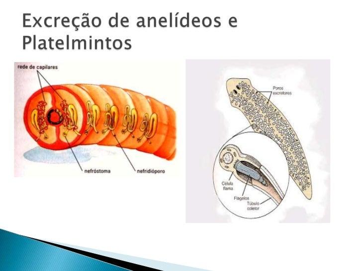 Excreção de anelídeos e Platelmintos<br />