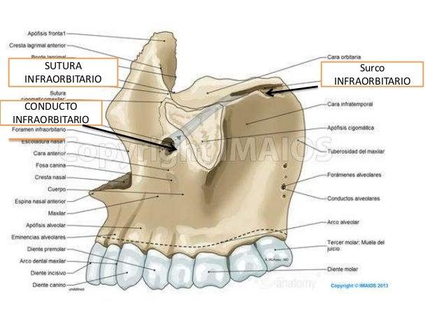 Anatomia con juan