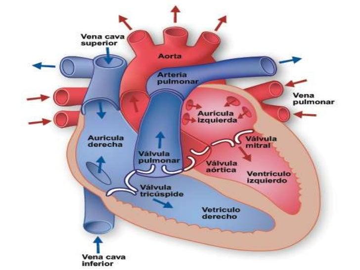 Anatomia corazon