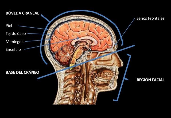 Anatomia craneal