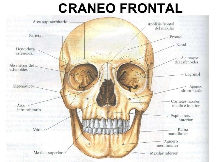 Craneo Anatomia | www.imagenesmy.com