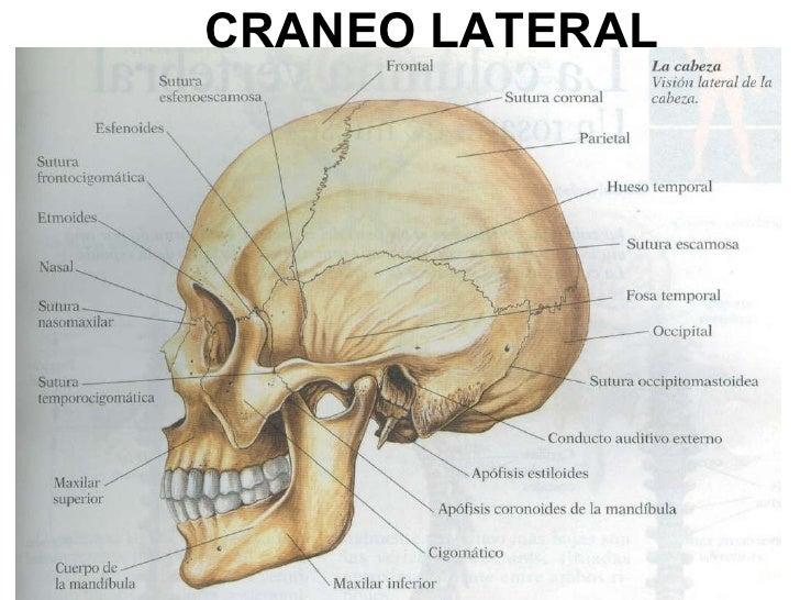 Anatomía cráneo y músculos rostro