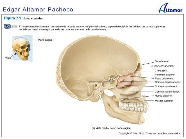 Anatomia craneofacial