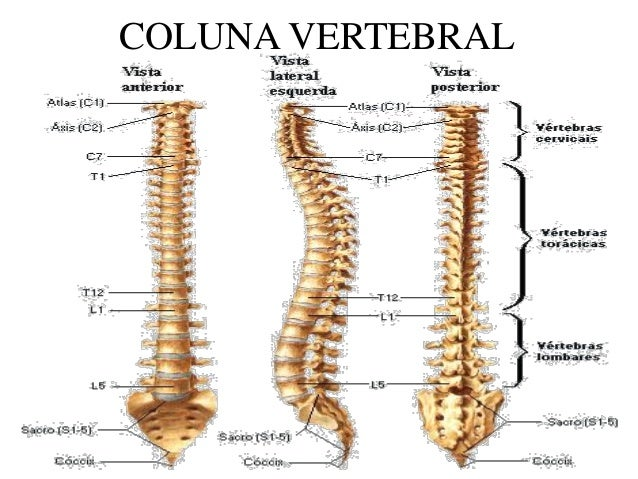 Conhecido Anatomia c vertebral 2016 XG19
